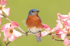 Bluebird with Dogwood flowers Stock Images