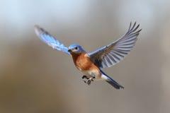 Bluebird durante il volo Immagini Stock Libere da Diritti