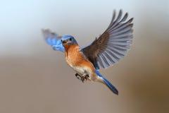 Bluebird durante il volo Immagine Stock