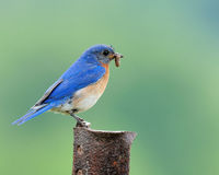 Bluebird Eastern Stock Photos
