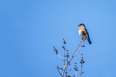 Bluebird. An Eastern Bluebird perched in the top of a tree Royalty Free Stock Photography