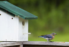Bluebird eating mealworms near her nest. Royalty Free Stock Images