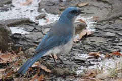 Bluebird Stock Photography