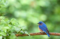 Bluebird en resorte Imagen de archivo libre de regalías