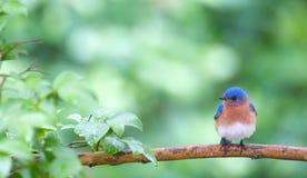 Bluebird en resorte Foto de archivo