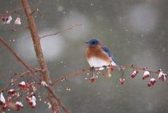 Bluebird en tempestad de nieve Foto de archivo