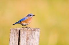 Bluebird en un fencepost Fotos de archivo libres de regalías