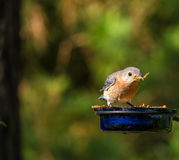 Bluebird Feast Stock Photography
