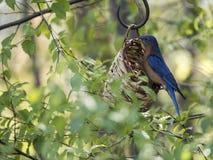 Bluebird at feeder Stock Photography
