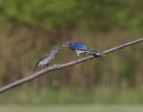 Bluebird Feeding Baby Bird Stock Photo