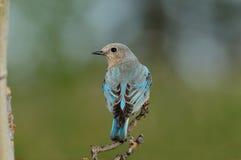 Bluebird femenino solitario de la montaña encaramado Foto de archivo libre de regalías