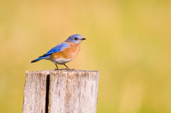 Bluebird on a fencepost royalty free stock photos
