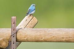 Bluebird on fencepost Stock Images