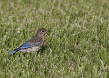 Bluebird Fledgling Royalty Free Stock Photography