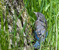 Bluebird Fledgling Royalty Free Stock Photo