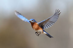 Bluebird In Flight royalty free stock images