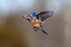Bluebird In Flight Royalty Free Stock Photo