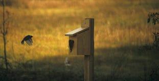 Bluebird in flight. Bluebird coming into nest Royalty Free Stock Photo