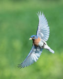Bluebird in flight with moth Stock Photo