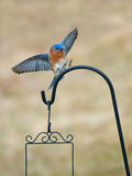 Bluebird in flight prepares to land on bird swing Stock Photography