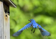 Bluebird Flying and Baby Bird. Male Eastern Bluebird (Sialia sialis) looks back at nestling as he  flies away from  nest in birdhouse. (Baby bird Royalty Free Stock Photos