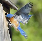 Bluebird Flying Feeding Baby Bird. Male Eastern Bluebird (Sialia sialis) feeds nestling in bird house Stock Photo