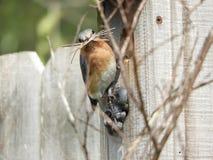 Bluebird gniazdować Zdjęcia Royalty Free