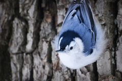 Close-up of white-breasted nuthatch on side of tree posing. Royalty Free Stock Photo