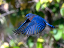 Bluebird hovers among fall colors Royalty Free Stock Image