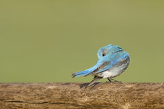 Bluebird on a log Stock Images