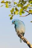 Bluebird masculino de la montaña encaramado en la ramificación Imágenes de archivo libres de regalías