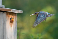 Bluebird mom delivers moth to chicks Stock Images
