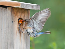 Bluebird mom feeds berry to chick Stock Images