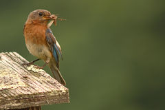 Bluebird With Moth In Beak Stock Images