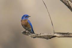 Bluebird occidental Fotografía de archivo libre de regalías