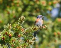 Bluebird occidental en la ramificación Foto de archivo libre de regalías