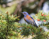 Bluebird occidentale Fotografia Stock