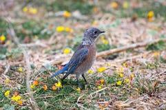Bluebird occidentale Immagini Stock
