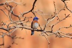 Bluebird occidentale Fotografia Stock Libera da Diritti
