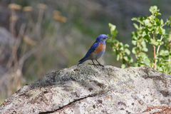 Bluebird occidentale su una roccia Fotografia Stock