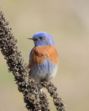 Bluebird ocidental Foto de Stock Royalty Free