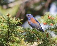 Bluebird ocidental foto de stock