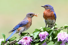 Bluebird oriental Fotos de Stock Royalty Free