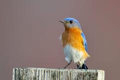 Bluebird oriental fotografia de stock