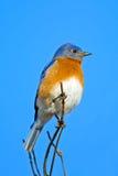 Bluebird oriental foto de stock