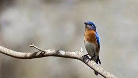 Bluebird oriental Imagem de Stock Royalty Free