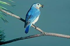 Bluebird oriental Fotografia de Stock Royalty Free