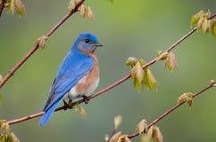 Bluebird oriental Imagens de Stock