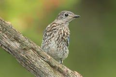 Bluebird oriental do bebê Fotografia de Stock