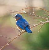 Bluebird oriental masculino Fotos de Stock